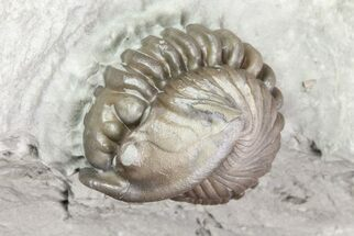 "Buy .6"" Wide, Enrolled Flexicalymene Trilobite In Shale - Ohio - #72025"