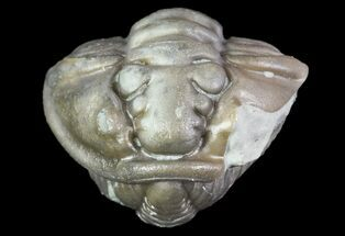 "Bargain, .66"" Wide, Enrolled Flexicalymene Trilobite - Ohio For Sale, #72029"