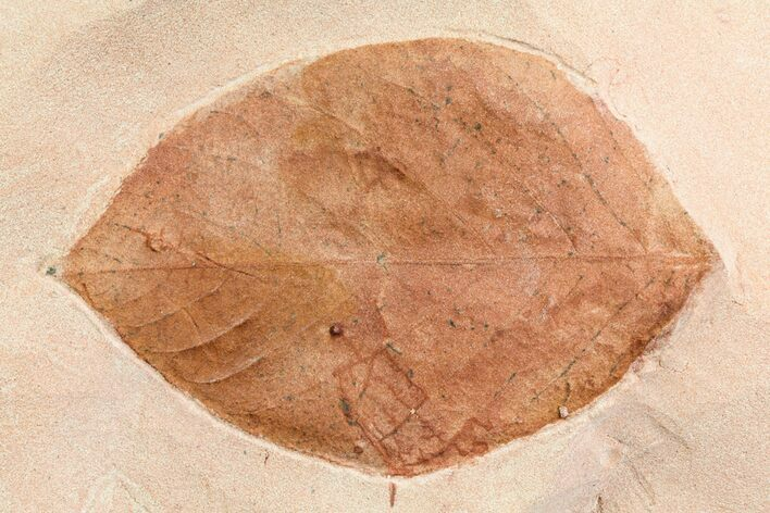 "3.1"" Fossil Leaf (Phyllites) - Montana"