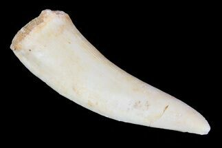 "1.7"" Enchodus Fang - Extinct Bony Fish For Sale, #76025"