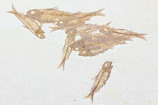 Buy Multiple Knightia Fossil Fish - Wyoming - #75979