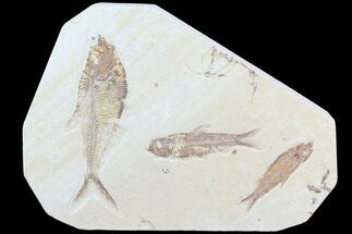Buy Diplomystus & Knightia Fossil Fish Association - #75988