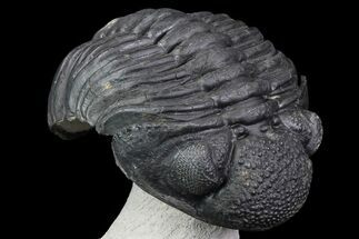 "Buy 5"" Drotops Trilobite - Excellent Faceted Eyes - #76210"