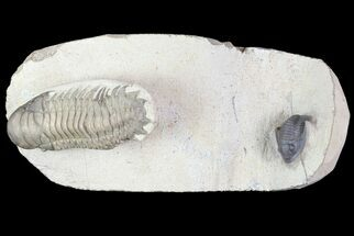 Beautiful Crotalocephalina & Dalejeproetus Trilobite Association For Sale, #76400
