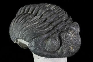 "4"" Enrolled Drotops Trilobite On Pedestal Of Limestone For Sale, #76412"
