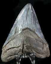 "Buy 4.35"" Fossil Megalodon Tooth - Georgia - #76513"