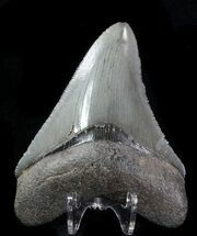 "Buy 3.28"" Fossil Megalodon Tooth - Serrated Blade - #76546"