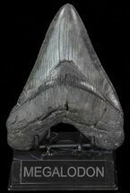 "Buy Huge, 5.53"" Fossil Megalodon Tooth  - #76663"