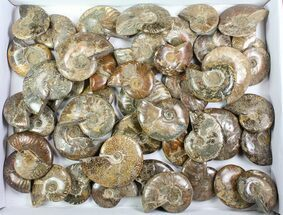 "Wholesale: 10 Lbs Polished Ammonites (2.5 to 3"") - 38 Pieces For Sale, #76997"