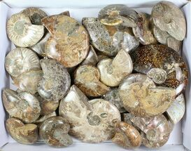 Mostly Cleoniceras - Fossils For Sale - #76998