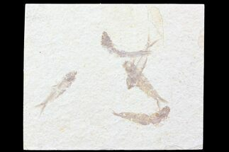 Multiple (5) Small Knightia Fossil Fish - Wyoming For Sale, #77135