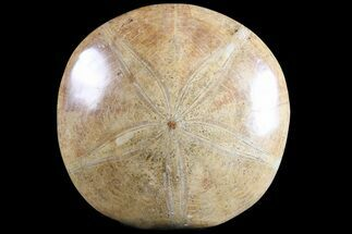 "4.2"" Polished Fossil Sand Dollar (Pygurus) - Jurassic For Sale, #77024"