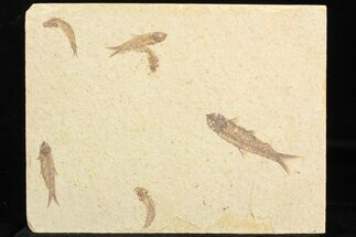 Knightia eocaena - Fossils For Sale - #77145