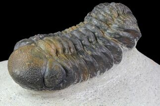 "Bargain, 2.1"" Austerops Trilobite - Nice Eye Facets For Sale, #76976"