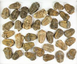 "1 1/2 to 2 1/2"" Calymene Trilobite Fossils - 25 Pieces For Sale, #77402"