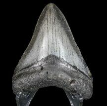 "3.35"" Megalodon Tooth - North Carolina For Sale, #77534"