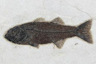 "Excellent, 9.2"" Mioplosus Fossil Fish - Wyoming For Sale, #77774"