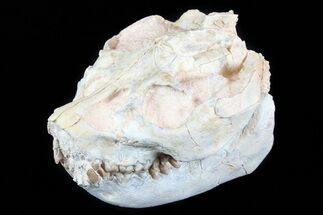 "Beautiful 3.4"" Oreodont (Leptauchenia) Skull  For Sale, #77819"