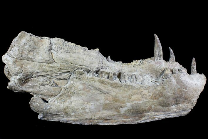 "14.5"" Xiphactinus Lower Jaws - Terror of The Cretaceous Seas!"