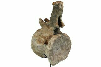 "16.5"" Dinosaur (Camarasaurus) Vertebrae With Stand - MASSIVE! For Sale, #77948"