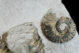 "4.2"" Fossil Ammonites (Aegocrioceras) on Rock - Germany - #77950-3"
