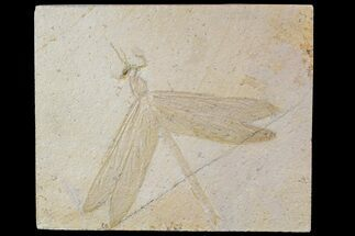 "5.1"" Fossil Dragonfly (Isophlebia) - Solnhofen Limestone For Sale, #77954"