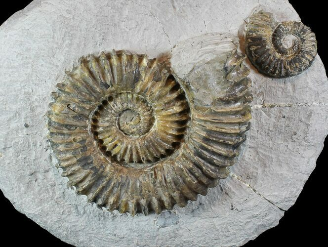 "4.2"" Fossil Ammonites (Aegocrioceras) on Rock - Germany"