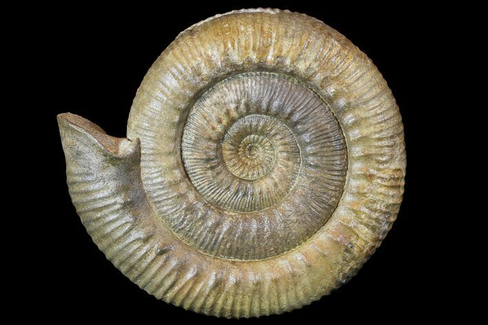 "9.4"" Stephanoceras Ammonite - Dorset, England"