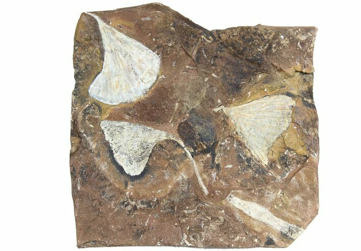 "6.3"" Wide Multiple Fossil Ginkgo Leaf Plate - North Dakota"