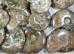 "Wholesale: 3 - 4"" Whole Polished Ammonites (Grade B/C) - 19 Pieces - #78031-2"