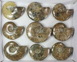Cleoniceras - Fossils For Sale - #78030