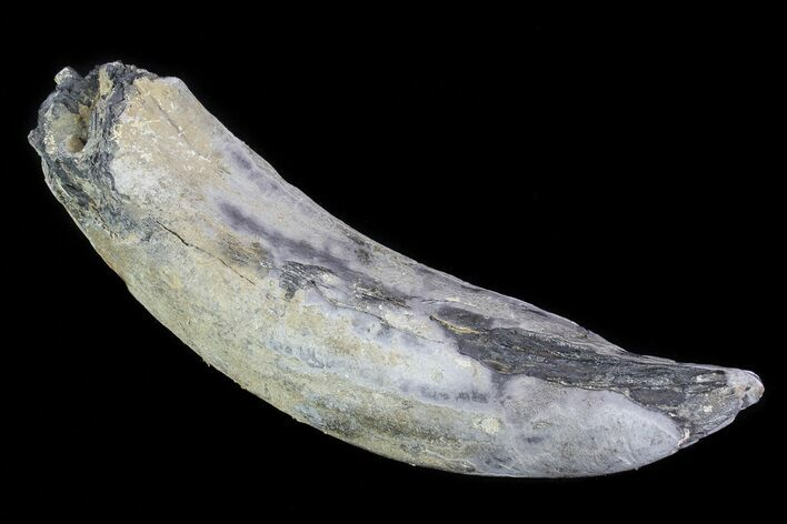 "5.7"" Fossil Pygmy Sperm Whale (Kogiopsis) Tooth"
