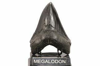 "Buy Serrated, 5.10"" Fossil Megalodon Tooth - Georgia - #78184"