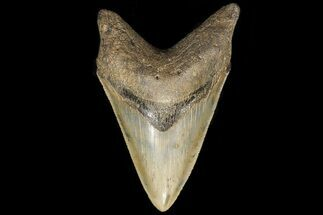 Carcharocles megalodon - Fossils For Sale - #78186