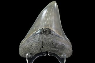 "Serrated, 4.23"" Fossil Megalodon Tooth - Gorgeous Meg Tooth For Sale, #78212"