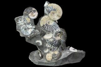 "Gorgeous, 5.8"" Tall Iridescent Ammonite Cluster - Russia For Sale, #78533"