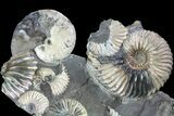 "Gorgeous, 7.7"" Tall Iridescent Ammonite Cluster - Russia - #78534-2"
