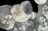 "Gorgeous, 8.3"" Tall Iridescent Ammonite Cluster - Russia - #78535-2"