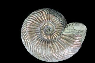 "1.3"" Iridescent Ammonite (Quenstedtoceras) Fossil With Pyrite For Sale, #78521"