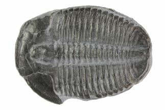 "Large 1.5"" Elrathia Trilobite - Utah For Sale, #78962"