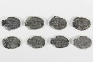 "Buy Wholesale Lot: 1 1/4"" Elrathia Trilobite Molt Fossils - 8 Pieces - #79027"