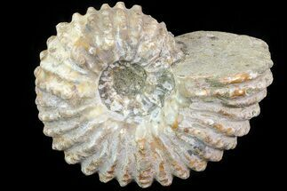 "3.6"" Bumpy Douvilleiceras Ammonite - Madagascar For Sale, #79109"