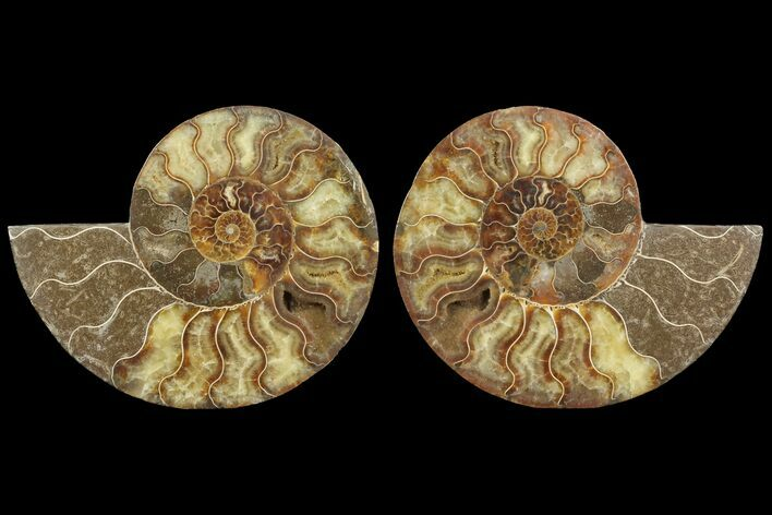 "7.15"" Cut & Polished Ammonite Fossil - Agatized"