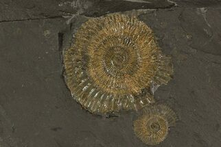 "5.5"" Dactylioceras Ammonite Plate - Posidonia Shale, Germany For Sale, #79316"