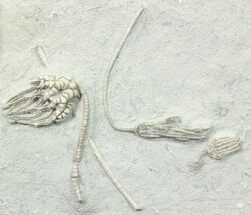 Three Fossil Crinoids (Macrocrinus, Parisocrinus & Cyathocrinites) For Sale, #78302