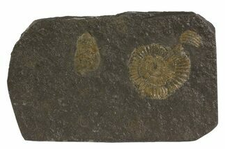 Dactylioceras - Fossils For Sale - #79326