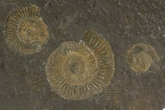 "Buy 4.3"" Dactylioceras Ammonite Cluster - Posidonia Shale, Germany - #79309"