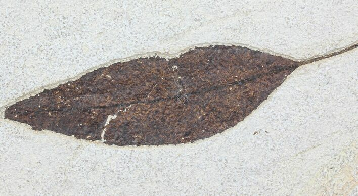 "6.7"" Fossil Leaf (Allophylus) - Green River Formation"