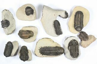 Wholesale Lot: Assorted Devonian Trilobites - 10 Pieces For Sale, #79775