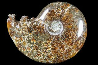 "4.1""  Polished, Agatized Ammonite (Cleoniceras) - Madagascar For Sale, #79745"